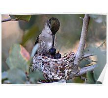 Hummingbirds Tiny Cycle of Life  Poster