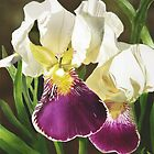 Purple and White Iris a digital watercolour by Joan A Hamilton by Joan A Hamilton