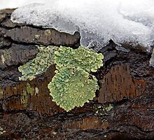 Lichen on Wet Bark by Lynda Lehmann