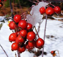 Winter Berries, Cherry Hills, Colorado by Thomas Stevens