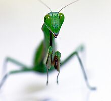 Praying Mantis  by Jenny Dean