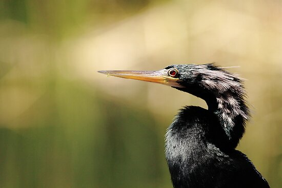 Portrait of An Anhinga by Phillip  Simmons