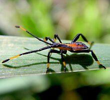Crusader Bug Nymph by John Marriott