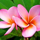 Pink Frangipani by John Marriott