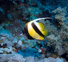 Red Sea Bannerfish by spyderdesign