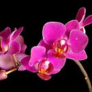 Fuchsia Orchid  by Alana Ranney