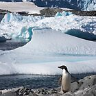 Adelie Penguin  ~  &quot;and this is my backyard&quot; by Robert Elliott