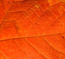 Orange Maple Leaf, Background by snehit
