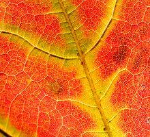 maple Leaf  by snehit