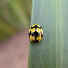 Fungus-eating Ladybird Beetle by Trish Meyer