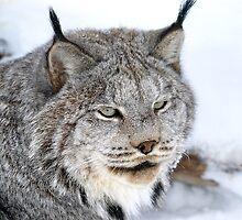 Lynx Closeup 1 by Moxy