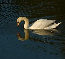 A reflective swan by Fisher