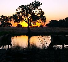 Sunset Drink - Mirror Cows. by Janine Elphick