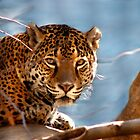Jaguar His Golden Eyes  by NatureGreeting Cards ccwri