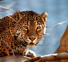 Jaguar His Golden Eyes  by NatureGreeting Cards ©ccwri