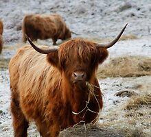 Hairy Cow -Highland Cattle by k9kirsty