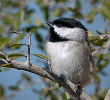 Carolina Chickadee in Holly Tree by Bonnie T.  Barry