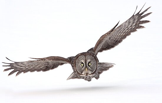 Under The Radar/Great Gray Owl by Gary Fairhead