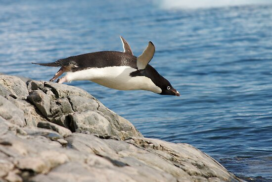 "Adelie Penguin ~ ""I Can Fly"" by Robert Elliott"