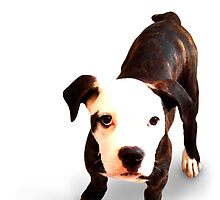 Brindle Bull Terrier Puppy by ArtPrints