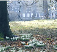 Snowdrops at Rufford Old Hall. by Carla Maloco
