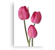 three pink tulips Canvas Print