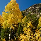 Aspens In Fall by chas48