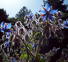 Borage plant in full bloom by GnomePrints