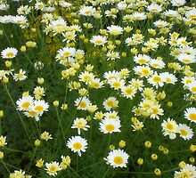 Daisies at Arley Hall by MidgeACE