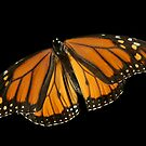 Monarch Butterfly by Marija