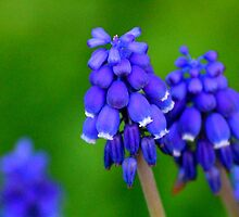 Grape Hyacinths by Bron Praslicka