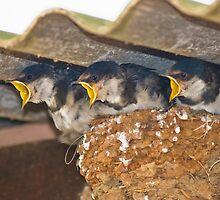 Three Chicks by wildshot