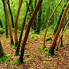 Madrones and Moss in the Rain by Zane Paxton