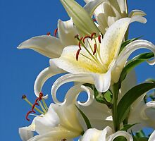 Easter Lilies by Curtis  Sheppard