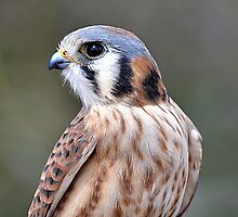 Side Portrait Kestrel by Judy Grant