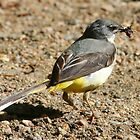 Yellow wagtail (Motacilla cinerea) with food by christopher363