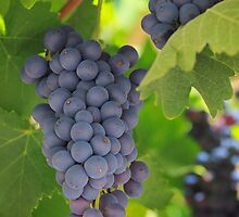 Chelan Blue Grapes by Inge Johnsson