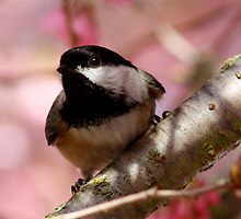 Curious Chickadee Perched Before Pink Blossoms by Wolf Read