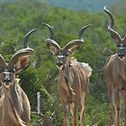 Three Kudu Bulls by wildshot