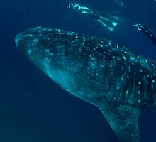 "Whale shark, the biggest ""gentle giant"" ever by wildshot"