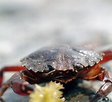 Crabs need meals too, lunch time at the beach by rhimmelright