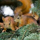 Baby Squirrel Play by Sergey Bezberdy