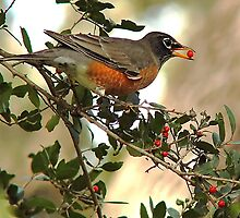 Berry Hungry Robin by Nick Conde-Dudding