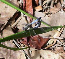 Dragonflies - Caught Unaware by Angela Simpkin