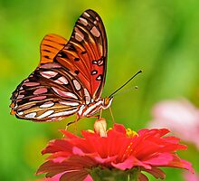 Gulf Fritillary Butterfly by Nick Conde-Dudding
