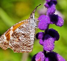 American Snout Butterfly by Nick Conde-Dudding