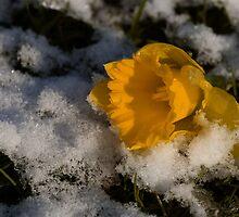 Daffodil in winter by starsofglass