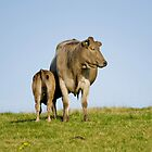 Grey cow and calf - St Bees by starsofglass