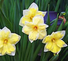 Double Daffodils by kkphoto1