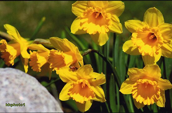 Daffodils And Honeybee by kkphoto1